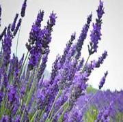 라벤더 워터 (Lavender water)